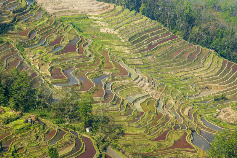 High angle view of rice field