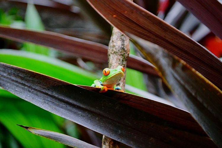 RED EYES Green Red Eyed Frog Frogs