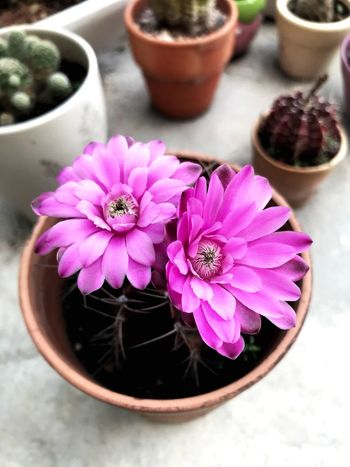 In full bloom My Cactus Collection Cactus Flower The Power Of Flowers Flower Flowering Plant Plant Pink Color Freshness Beauty In Nature Close-up Potted Plant Nature Flower Pot