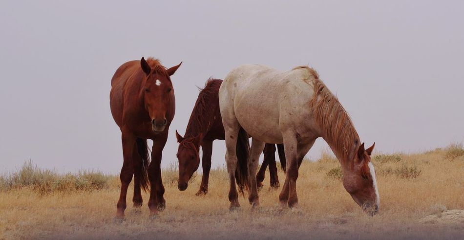 Wyoming wild horses Red Desert Wyoming Landscape Wyoming Wyoming Wildlife Environment Wild Horses Animal Animal Themes Mammal Animal Wildlife Group Of Animals Two Animals Nature Animals In The Wild No People Field Standing Outdoors Day Land Sky