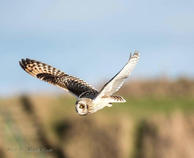 Short Eared Owl hunting on a sunny winter's morning.... Taking Photos Bestshot Aberdeen,Scotland Wildlife Photography VisitScotland Wildlife Beautiful Nature Owls Owls💕 Owlsofinstagram Bird Photography Birds Of EyeEm  Bird_of_instagram Birdofprey Beauty In Nature Beautiful Animals  Beautiful Birds