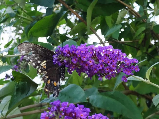 Flower Freshness Fragility Growth Leaf One Animal Insect Purple Beauty In Nature Nature Animal Themes Plant Butterfly - Insect Animals In The Wild Day No People Petal Outdoors Lilac Butterfly Light Wings Close-up Black Butterfly