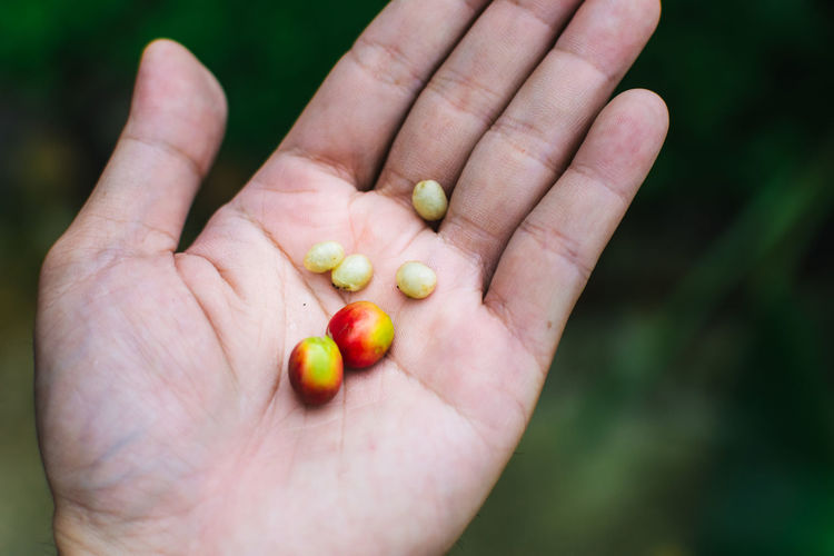 Fresh organic coffee beans on hand. Organic coffee beans. Adult Close-up Day Food Freshness Healthy Eating Holding Human Body Part Human Hand Nutritional Supplement One Man Only One Person Outdoors Palm People Vitamin