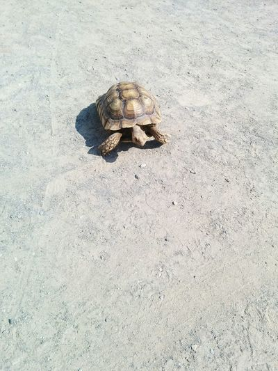 Tortoise Tortoise Shell Reptile Animal Exotic Animals Dry Slow Turtle Slow And Steady Slow And Steady Wins The Race Sunny Turtle In Sun Tortoise In Sun