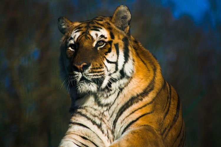 Tiger EyeEm Best Shots Check This Out EyeEm Nature Lover Eye4photography  Nature_collection Cute Animals Beautiful Nature Naturelovers Nature Paradise wildlife Park Enfield