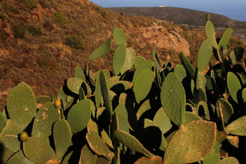 Pantelleria Beauty In Nature Cactus Close-up Day Green Color Growth Nature No People October 2015 Outdoors Plant Scenics