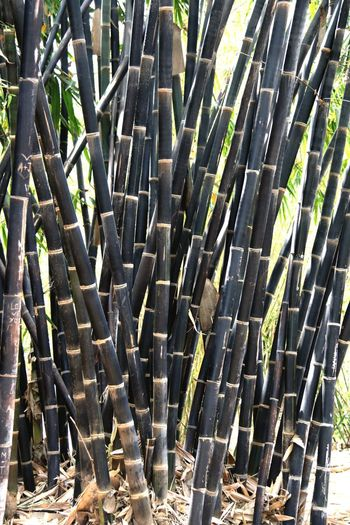 Arcadia Arboretum and Botanical Gardens Full Frame Sunlight Large Group Of Objects Bamboo - Plant Black Bamboo Close-up Nature Beauty In Nature Travel Destinations Outdoors