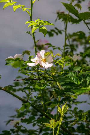 White rose and green leaves near by the lake Animal Themes Beauty In Nature Blooming Close-up Day Flower Flower Head Fragility Freshness Green Color Growth Leaf Nature No People Outdoors Petal Plant Water