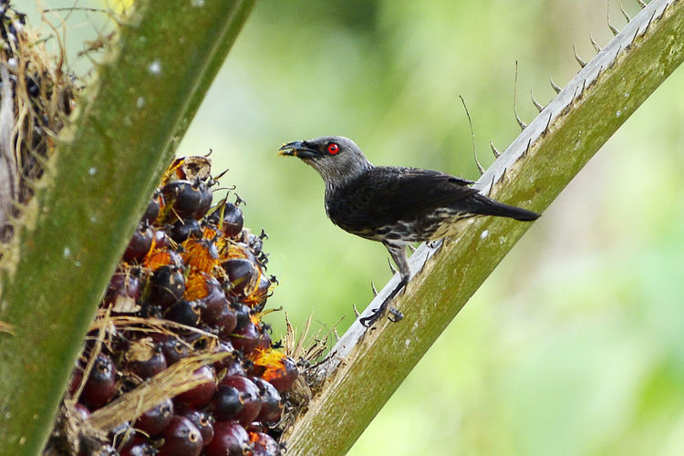 Bird Photography Palm Tree Animal Animal Themes Animal Wildlife Animals In The Wild Bird Bird Eating Black Color Blackbird Branch Day Focus On Foreground Food Food And Drink Nature No People One Animal Outdoors Perching Plant Selective Focus Tree Vertebrate