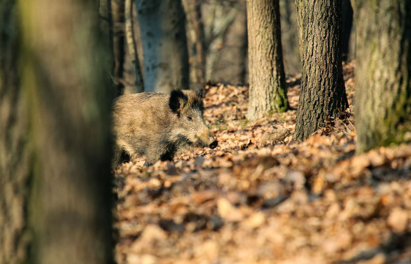 Close-up of wild boar in forest