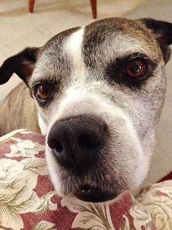Pitbull Pittylove Pittypride BoxerMix Sweetboy Love ♥ Cuddlebuddy Dog❤ Doglover DogLife❤️🐶 Things I Like