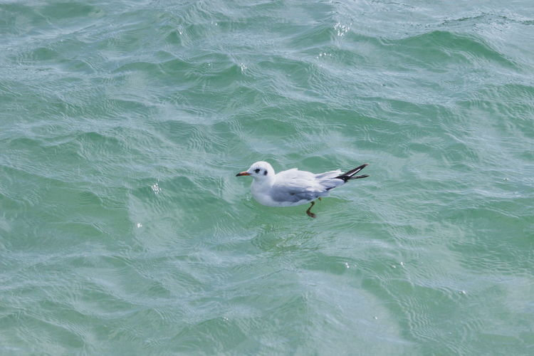 High angle view of seagull swimming in sea