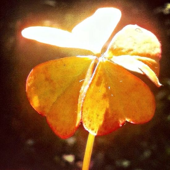 Nature Enjoying The Sun Trebol De Cuatro Hojas Plants Lucky