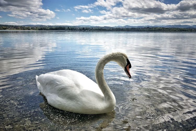Picoftheday Photooftheday Photographer Naturephotography Water Swan Animals In The Wild Animal Wildlife Animal Themes Lake Animal Bird Swimming Vertebrate Nature Water Bird One Animal Beauty In Nature Day Reflection No People Sky Floating On Water Animal Neck