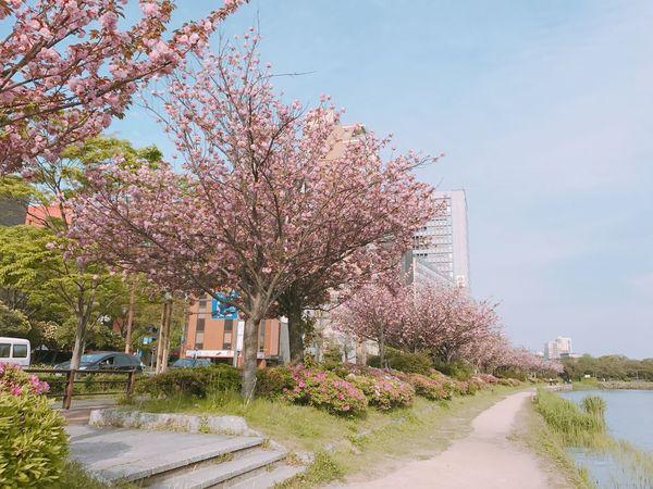Sakura road in maizuru park, fukuoka Sakura Cherry Blossom Cherry Blossom Tree Sakura Blossom Japan Fukuoka Maizuru Park Lake Springtime Traveling