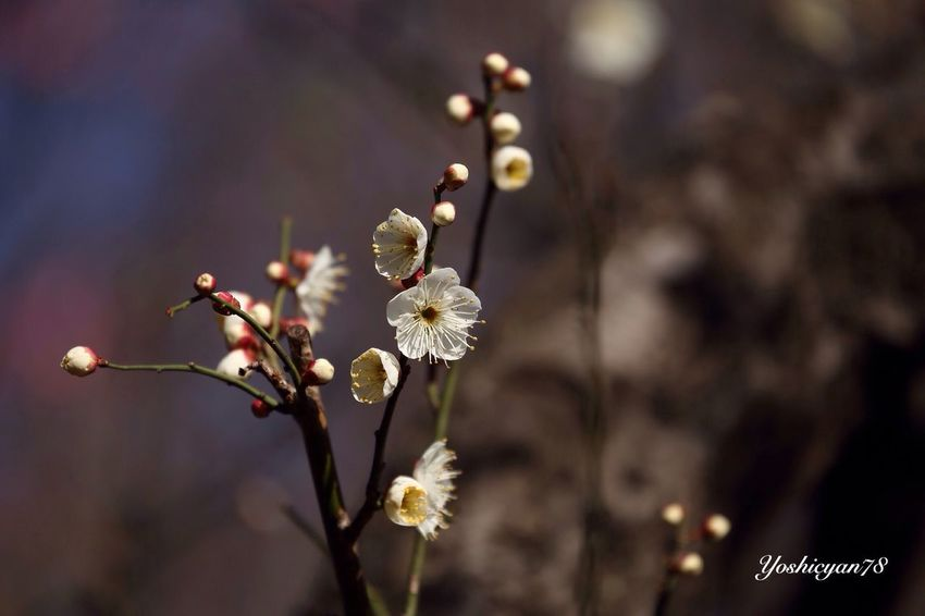 梅 Plum blossom Flower Bloom Flowers Tadaa Community Tadaabestshot EyeEm Best Shots - My Best Shot EyeEm Best Shots Closeup Plum
