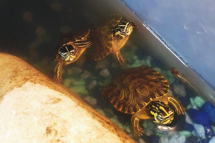 Yellow Bellied Slider Baby Turtle Aquatic Yellow Bellied Slider Aquatic Turtle