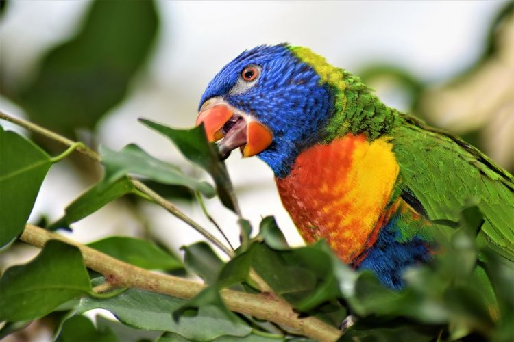 Animal Animal Eye Animal Themes Animal Wildlife Animals In The Wild Beak Beauty In Nature Bird Close-up Day Focus On Foreground Green Color Leaf Multi Colored Nature No People One Animal Parrot Perching Plant Part Rainbow Lorikeet Sittich Vertebrate
