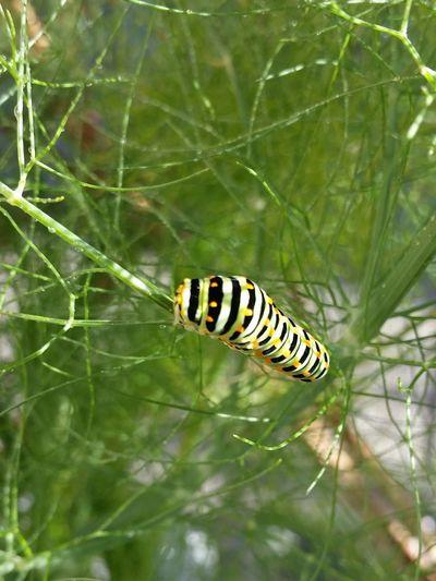 Raupe  Schwalbenschwanz Fenchel Gefässig Botanical Metamorphosis EyeEm Nature Lover Schmetterling