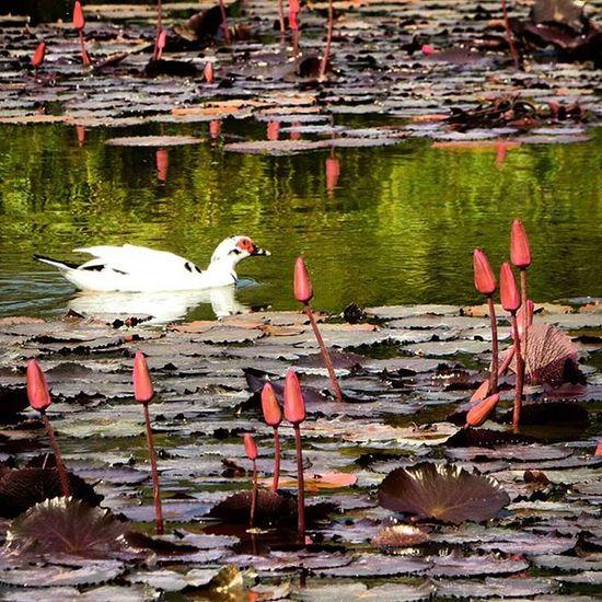 Duck Birds Lake Nature Caracas Venezuela ParqueDelEste Flowers Nature's Diversities