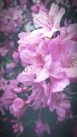 Flower Blossom Springtime Beauty In Nature Pink Color Nature Close-up Petal Plant Freshness Tree Branch Crabapple Blossoms Crab Apple Tree First Eyeem Photo