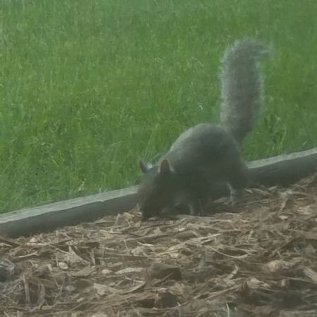 This squirrel was right outside my window this morning. I just created fabric with this picture. https://www.zazzle.com/cute_squirrel_fabric-256252887542214839 That is the link to see it. Squirrel Closeup Squirrel Outdoors Outside My Window Animal Themes Grass