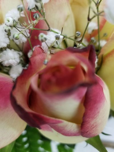 love colored roses Babys Breath Beauty In Nature EyeEm Nature Lover Pink And White Flower Pink And White Rose - Flower Flower Head Flower Petal Rose - Flower Peony  Close-up Plant