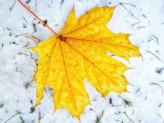 maple leaf on