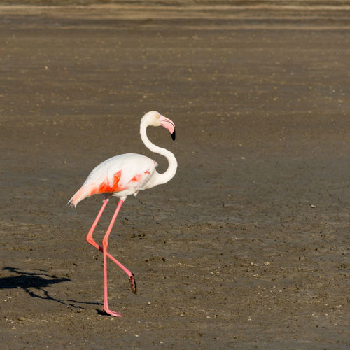 Flamingo in Namibia Africa African Animal Animals Animals In The Wild Arid Arid Landscape Atlantic Atlantic Ocean Beach Beauty In Nature Bird Birds Desert Flamingo Flamingos Namibia Namibian Ocean Tranquility Wild Wildlife