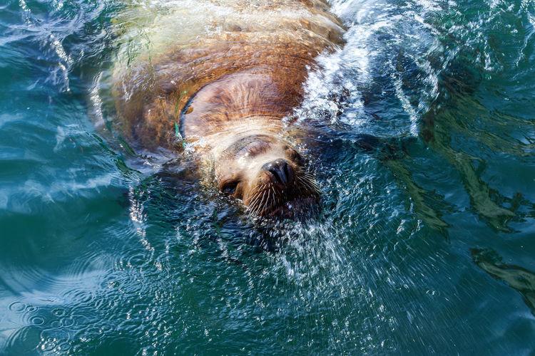 Steller sea lion in the water of avacha bay in kamchatka