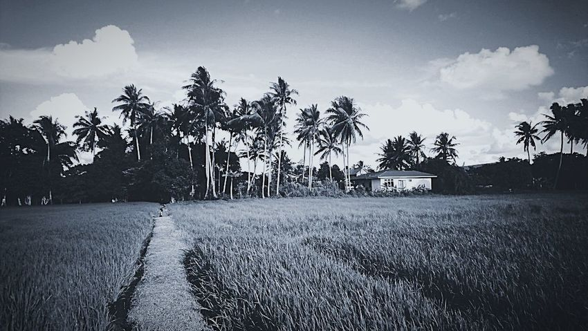 Black And White Rice Field Field Flowers, Nature And Beauty At Alor Setar Malaysia