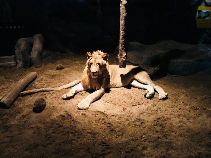 Lion EyeEm