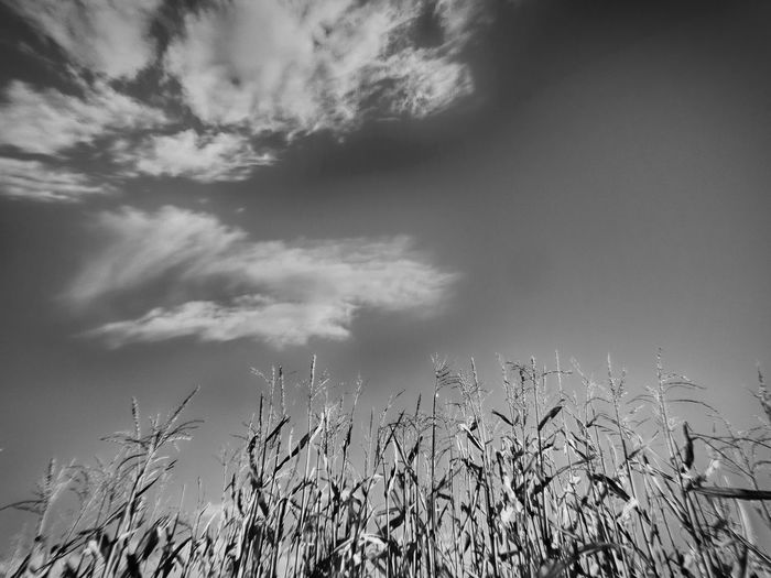 Low angle view of corn field against sky