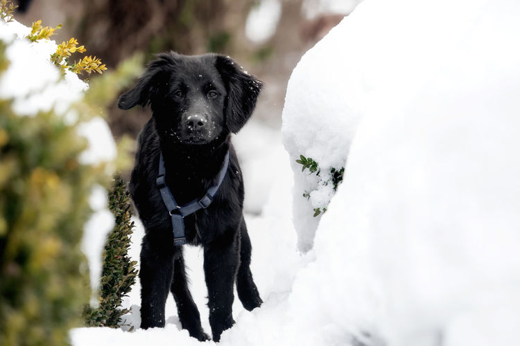 A black puppy is playing in the snow Animal Black Breed Cold Cute Dog Domestic Friend Fur Happy Ice Mammal Nature Obedient Dog Outdoor Outside Pet Playful Puppy Purebred Season  Snow White Winter Canine Pets Domestic Animals Vertebrate One Animal Animal Themes Black Color Looking At Camera Portrait Day Cold Temperature Plant No People Outdoors Snowing