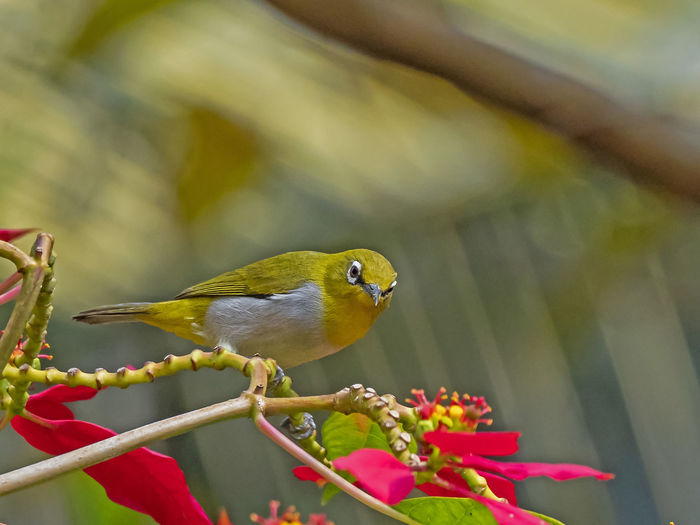 Oriental White-eye (Zosterops palpebrosus) Vertebrate Animal Bird Animal Themes Animal Wildlife Plant One Animal Animals In The Wild Perching Growth Nature Day Close-up No People Outdoors Beauty In Nature Focus On Foreground Flower Flowering Plant Selective Focus