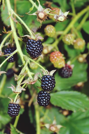 Ежевика Fruit Close-up Plant Green Color Food And Drink Blackberry - Fruit Blueberry Blackberry
