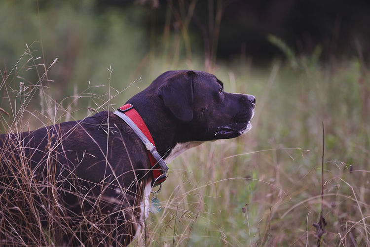 Animal Animal Head  Animal Themes Canine Collar Dog Domestic Domestic Animals Field Grass Land Looking Looking Away Mammal Nature No People One Animal Pet Collar Pets Plant Profile View Purebred Dog Rescue Dogs Vertebrate