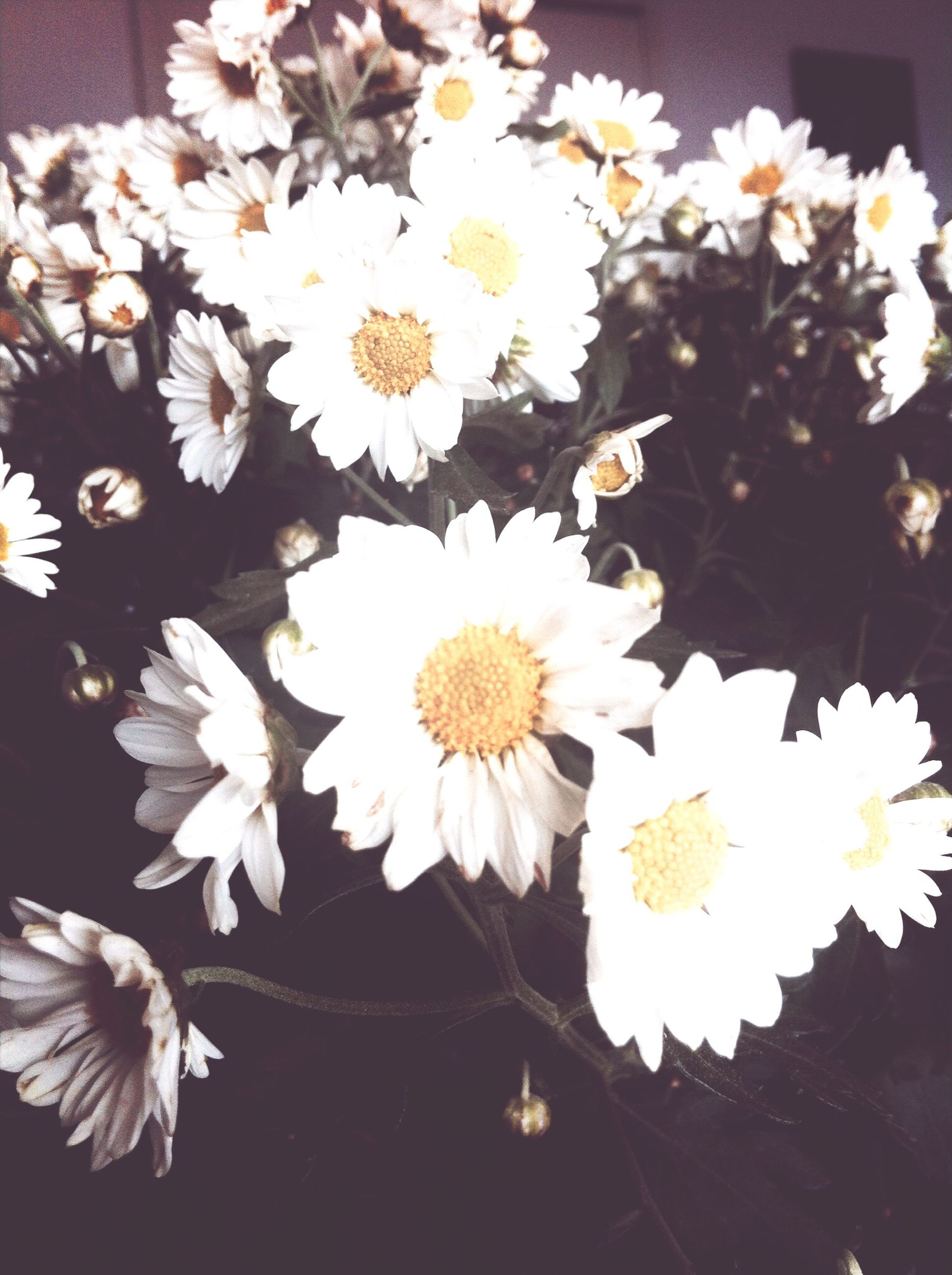 flower, petal, freshness, fragility, flower head, white color, beauty in nature, daisy, pollen, growth, blooming, nature, high angle view, close-up, blossom, in bloom, indoors, plant, stamen, white
