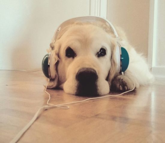 Music is the key Animal Photography Dogslife Music Musicisthekey Listen Goodvibes Headphones On  Relax Enjoying Life Music Brings Us Together