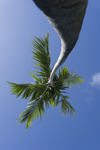 Sunny Lone Palm Key West Key West Skyward View Beauty In Nature Blue Branch Close-up Curved Tree Trunk Day Green Color Growth Leaf Low Angle View Nature No People Outdoors Palm Fronds Against The Light Palm Tree Sky Sunny Day Tall Tree Tree Trunk Close Up White Cloud