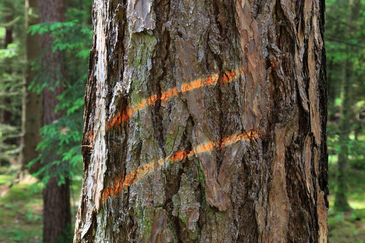 Marking on a tree trunk for logging Logging Tree Bark Beauty In Nature Close-up Day Environment Focus On Foreground Forest Growth Land Marking Nature No People Orange Color Outdoors Plant Plant Bark Rainforest Rough Textured  Tree Tree Trunk Trunk Wood - Material