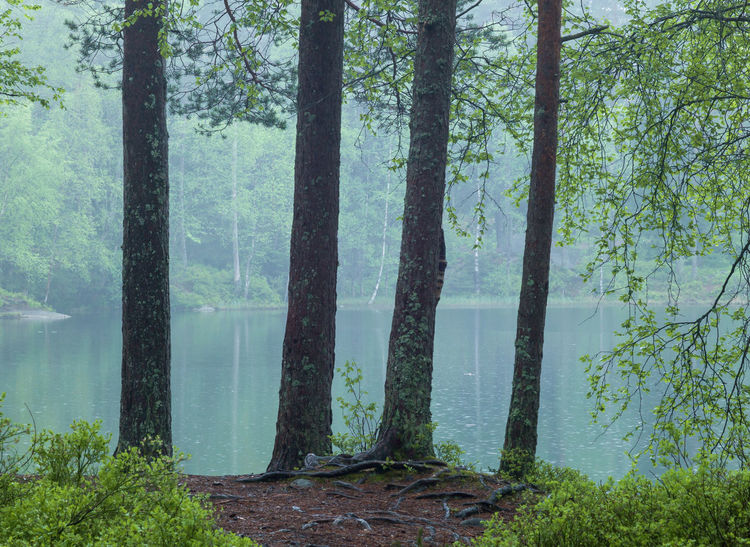 Forest landscape in the springtime. Four pines in fromt of a lake. Tree Plant Forest Trunk Land Tree Trunk Growth Nature Tranquility Beauty In Nature Scenics - Nature Tranquil Scene Lake No People Day Green Color Outdoors Landscape WoodLand Togetherness Four Strength Upright Fresh Pristine