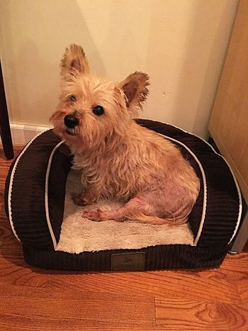 Pets Dog One Animal Domestic Animals Animal Themes Mammal Indoors  No People Domestic Room Day Close-up Cairn Terrier Small Dog Dog Staring At Camera Dog In Bed Dog In Dog Bed EyeEm Ready