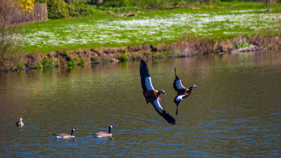 Animal Animal Photography Animal Themes Animals In The Wild Apufoto Beauty In Nature Bird Day Egyptian Goose Egyptian Goose In Flight Flying Flying Bird Goose Gooses Lake Lakeshore Lifestyles Nature Outdoors Rippled Tranquility Water Water Bird