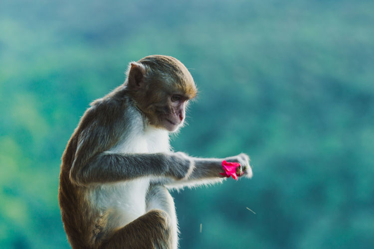 Monkey looking at flower while sitting outdoors