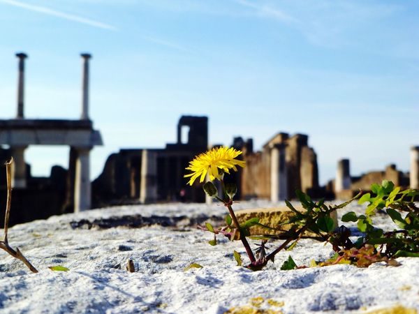 Flower Fragility Yellow Nature Built Structure No People Outdoors Building Exterior Sunlight Beauty In Nature Architecture Day Freshness Sky Close-up Flower Head Pompeii  Italy Ruins Roman