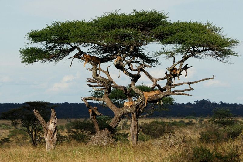 Shot this one yesterday in serengeti nationalpark, tanzania Lions Tree Many Animals Safari Hanging Out Relaxing Enjoying Life Showcase March Eyem Best Shots Ladyphotographerofthemonth Enjoying Life EyeEm Best Shots Wildlife & Nature Wildlife Eye4photography  Nationalpark EyeEm Nature Lover Nature_collection Safari Animals Serengeti EyeEm Best Edits Animal Photography Balancing Elements