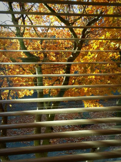 Trees Window View Window Light Blinds Abstract Fall Fall Colors Light Splash Light And Shadows Lines Fall Foliage Seasons Leaves Sunlight Elements