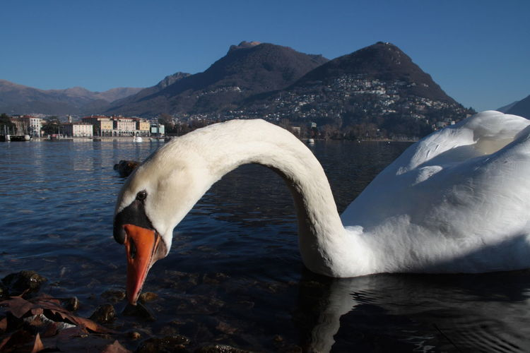 Close-Up Of Swan Swimming In Lake Against Mountains