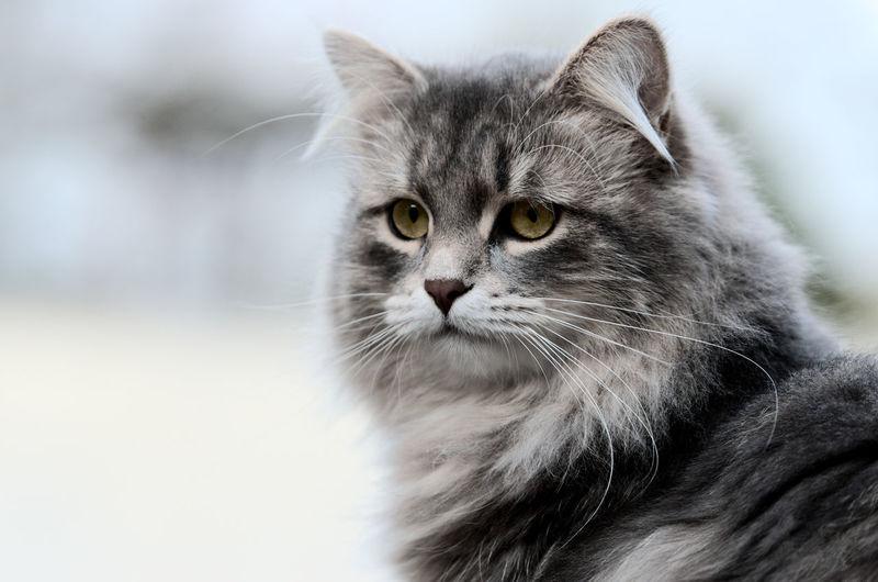 Eye4photography  Eyem Cute Cats Cat♡ Cats Cat Cute Cats Cats Of EyeEm Catoftheday Siberian EyeEm Nature Lover
